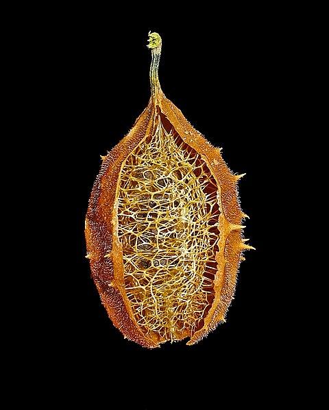 File:Luffa operculata 07.JPG