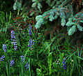 Lupin flowers and Picea pungens branches (4841784088).jpg