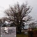 Luthereiche in der Nähe der Kirche in Rammenau.jpg