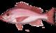Lutjanus campechanus.png