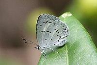 Ly White Disc Hedge Blue 01 November 2007 A (1902759568).jpg