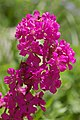 Lychnis viscaria (X-1523-A) Flowers.JPG