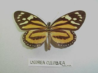 Lycorea halia cleobaea - Image: Lycoreacleobaea