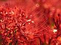 Lycoris radiata spiderlily higanbana DSCN9292.JPG