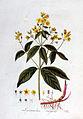 Lysimachia vulgaris — Flora Batava — Volume v2.jpg