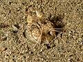 Lysiosquilla tredecimdentata (Spearing mantis shrimp).jpg