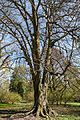 Münster, Park Sentmaring, Naturdenkmal -- 2015 -- 5657.jpg