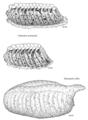 MANT Mantidae Miomantis caffra egg.png