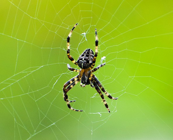 Spider climbing down spiderweb with a green background
