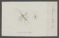 Macrocera - Print - Iconographia Zoologica - Special Collections University of Amsterdam - UBAINV0274 038 04 0002.tif