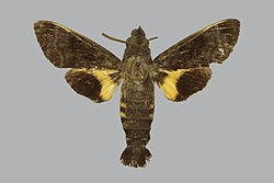 Macroglossum castaneum BMNHE813450 male up.jpg