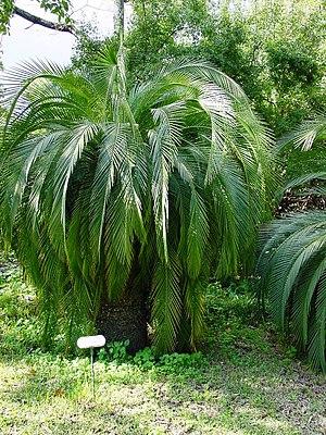Palmfarne – Biologie