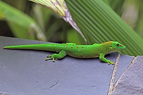 Description de l'image Madagascar giant day gecko (Phelsuma grandis) Nosy Komba.jpg.