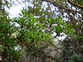 Madhuca longifolia var. longifolia (6941752854).jpg