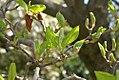 Magnolia denudata 11zz.jpg