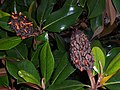 Magnolia grandiflora fruits and seeds.JPG