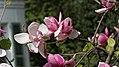 Magnolienblüte (Magnolia x soulangiana).jpg