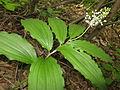Maianthemum japonicum 1.JPG
