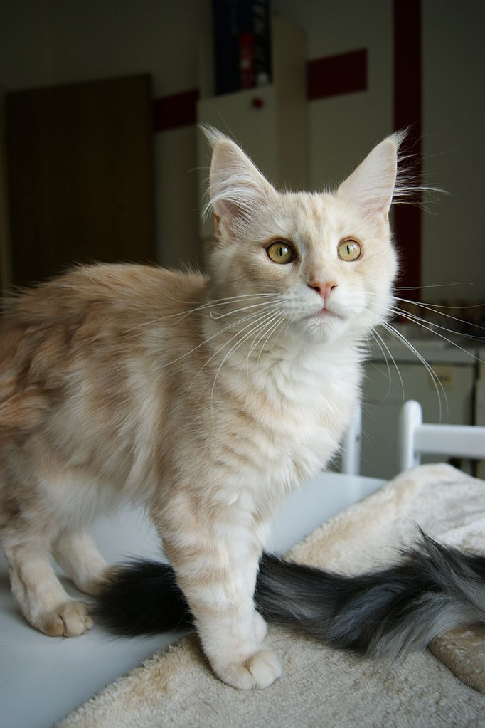 Maine Coon Mix Breed Cats