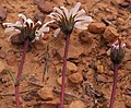 Mairia burchellii Helme 2.jpg