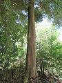 Majestuoso árbol en zona rural de Buga.JPG