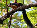 Malabar Giant Squirrel77.jpg