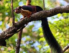 Malabar Giant Squirrel77