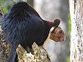 Malabar Giant Squirrel DSCN0191.jpg