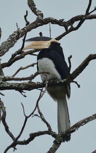 Malabar pied hornbill - Image: Malabar Pied hornbill