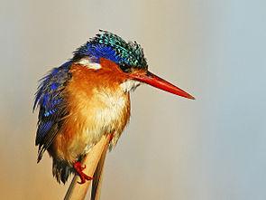 Malachite Kingfisher 1.jpg