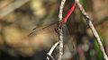 Male Fiery Skimmer (17087465918).jpg