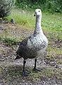 Male Upland Goose or Magellan goose (Chloephaga picta), Tierra del Fuego National Park, Argentina.jpg