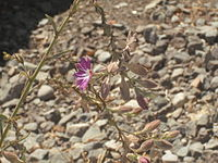 Malesherbia linearifolia 047