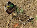 Mallard Pair - Flickr - treegrow.jpg