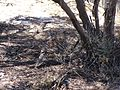 Malleefowl-camouflage.JPG