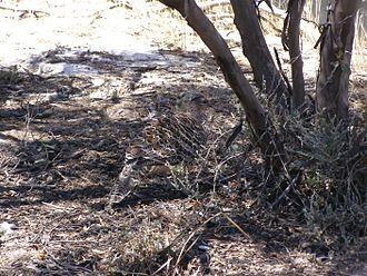 Malleefowl - Malleefowl camouflaged