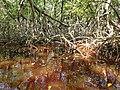 Malpighiales - Rhizophora mangle - 13.jpg