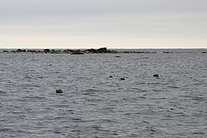 Gulf of Finland - Malusi islands in Estonia are one of the main habitats of grey seals in the Gulf of Finland.