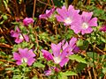 Malvaceae - Lavatera punctata-2.JPG