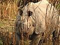 Mammal Rhino Kaziranga IMG 4676 04.jpg