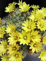 Mammillaria baumii Succu.jpg