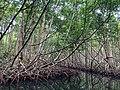 Mangrove de Guadeloupe.jpg