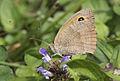 Maniola jurtina - Meadow Brown 2.jpg