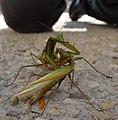 Mantis103.jpg