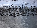 Many Coots and Mallards - panoramio.jpg