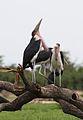 Marabou Stork, Leptoptilos crumeniferus, at the aptly named Marabou Pan, Savuti, Chobe National Park, Botswana (32746570546).jpg