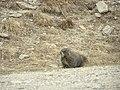 Marmot P6040222.jpg