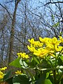 Marsh Marigold by IvanTortuga.jpg