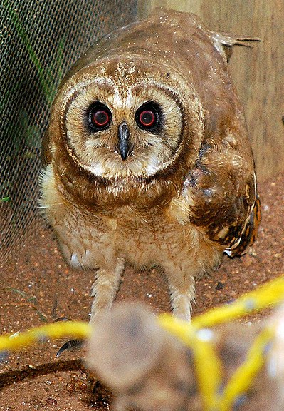 Ficheiro:Marsh owl (Asio capensis).jpg