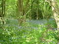 Martin Croft Brake Broadleaved Woodland.JPG